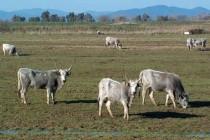 Avviso di pubblico incanto per vendita bestiame
