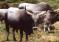 Caratteristiche razza vacca maremmana