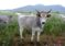 Avviso di pubblico incanto per vendita bestiame 3 Maggio 2021